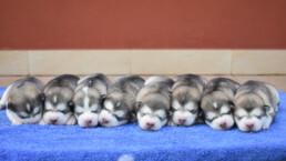 Cuccioli Ymir x Sidney